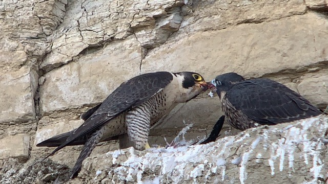 Peregrine falcons feeding one another