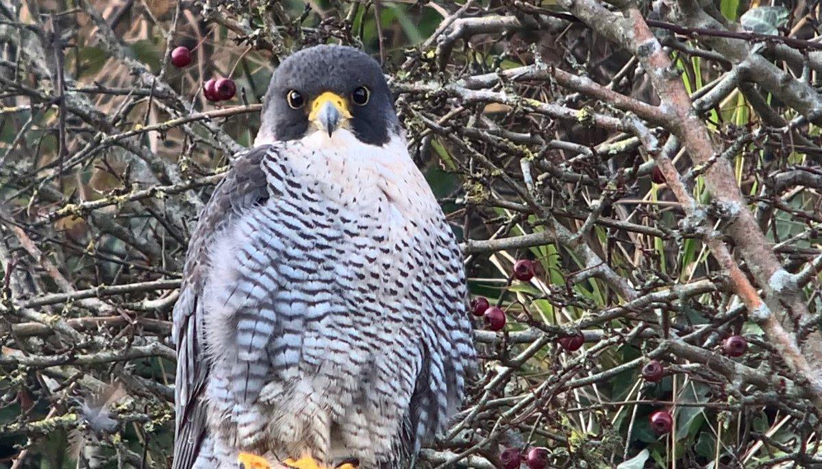 Peregrine Falcon up high