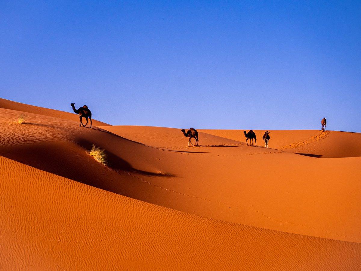 Camels journeying through a desert